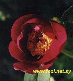 Paeonia mascula